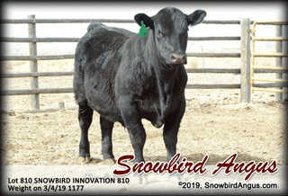 Snowbird Angus - registered yearling and 2-year-old bulls for sale - calved  in Colorado